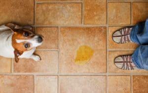 Inkontinenz beim Hund