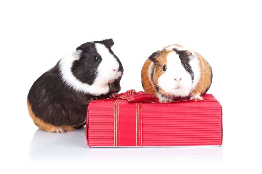 Meerschweinchen sitzen auf Geschenk