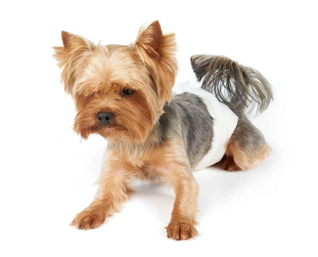 Hund mit Windel