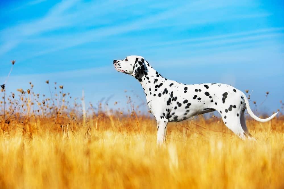 Untergewicht beim Hund: Dalmatiner