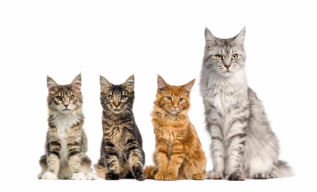 Main-Coon-Katze Gruppe