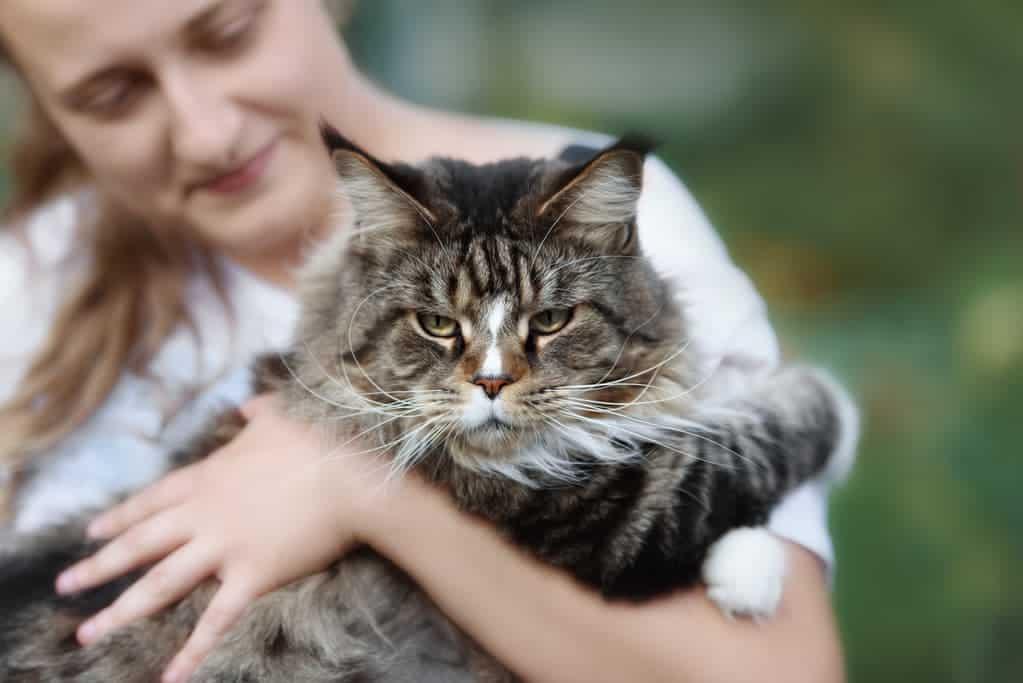Maine-Coon-Katze liegt im Arm