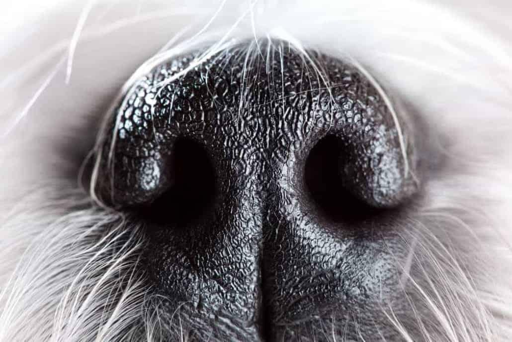 depositphotos.com Dog nose close-up @ chaoss