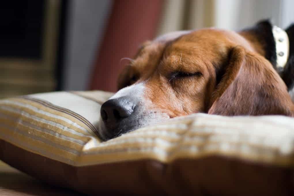 Hund kann beim Schlafen schmatzen
