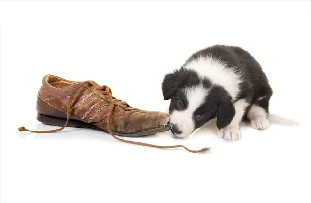 Welpe zerstört Schuh