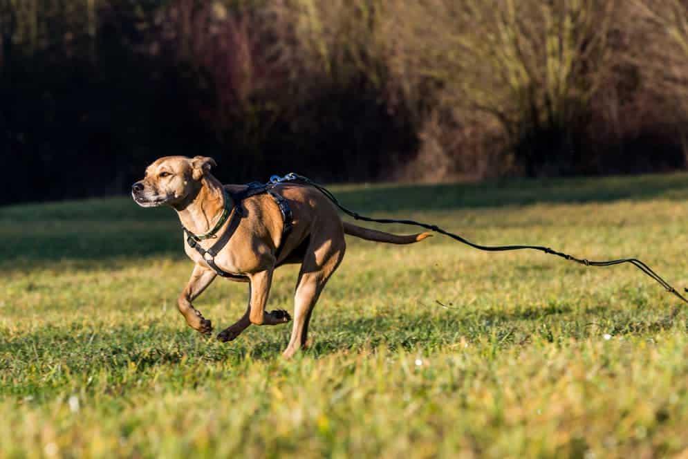 Hund läuft mit Leine