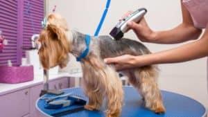 Yorkshire Terrier wird beim Hundefriseur getrimmt