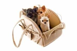 Hundetragetasche mit 3 Chihuahuas