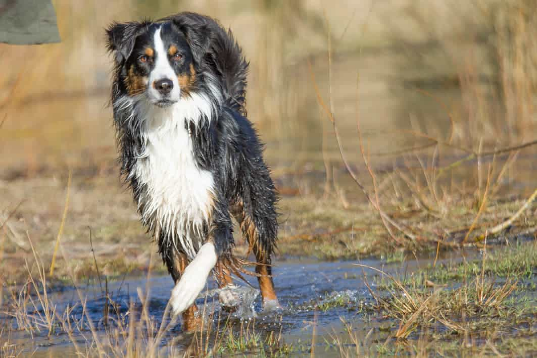 Australian Shepherd in Black Tri