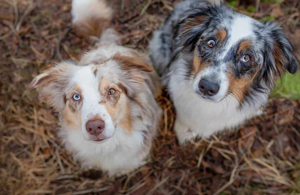 red merle vs. blue merle