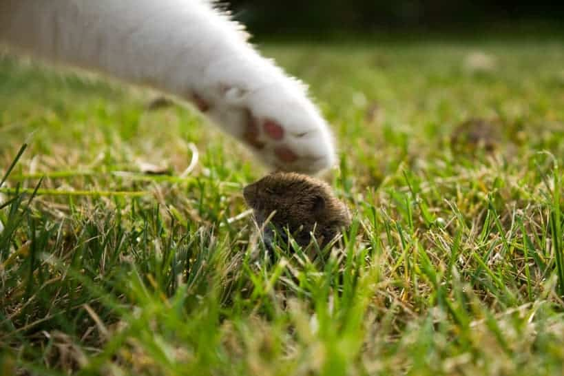 Katze fängt sich eine Maus