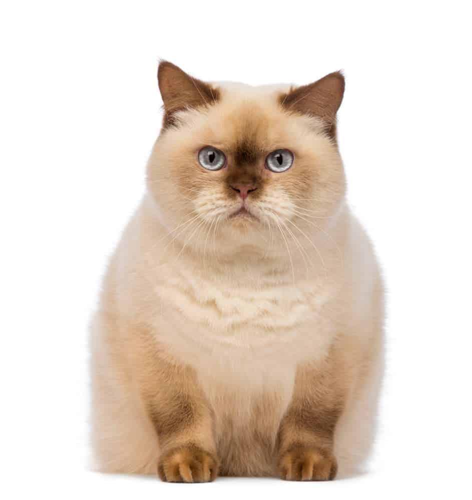 Große BKH Katze XXL