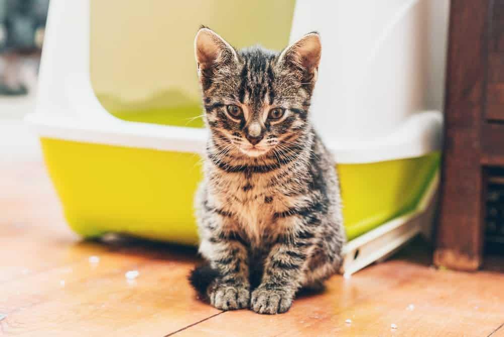 kleine Katze vor einem selbstreinigenden Katzenklo