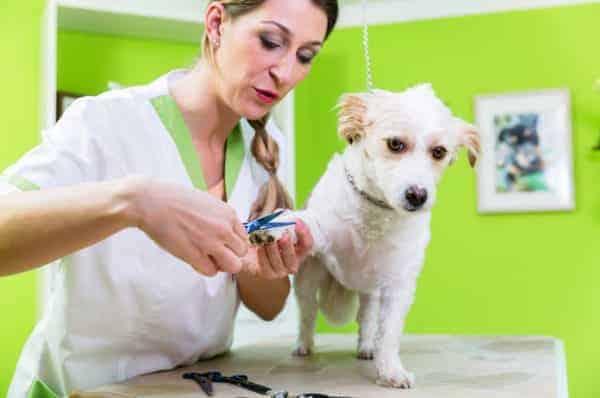 Hund bekommt vom Hundefriseur die Krallen geschnitten