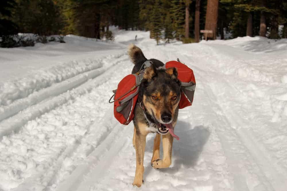 Hund mir Rucksack auf dem Rücken