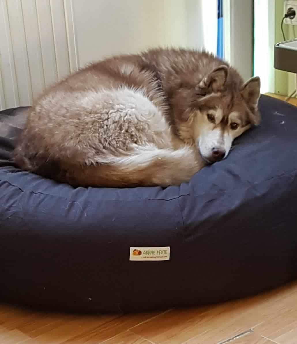 Siberian Husky liegt das erste mal auf dem Hundekissen mit Dinkelfüllung
