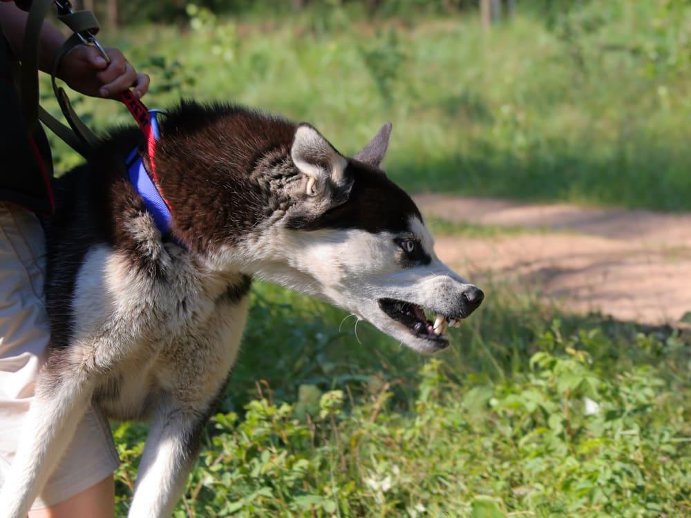 Social Walks aggressiver Hund