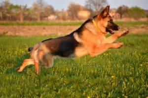 Deutscher Schäferhund im Training