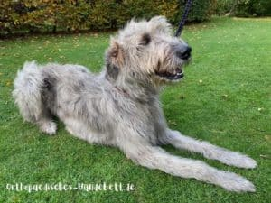 Hundebett XXL für irischen Wolfshund
