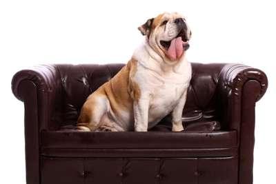 Bulldogge auf Hundesofa