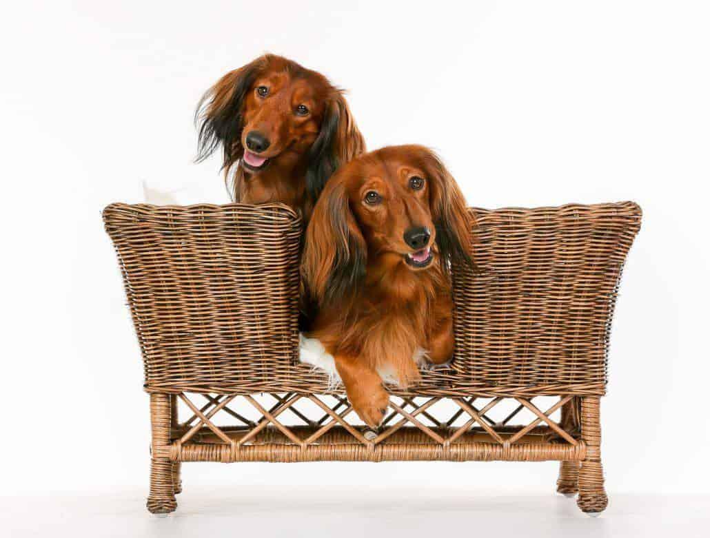 2 Dackel auf einer Hundecouch