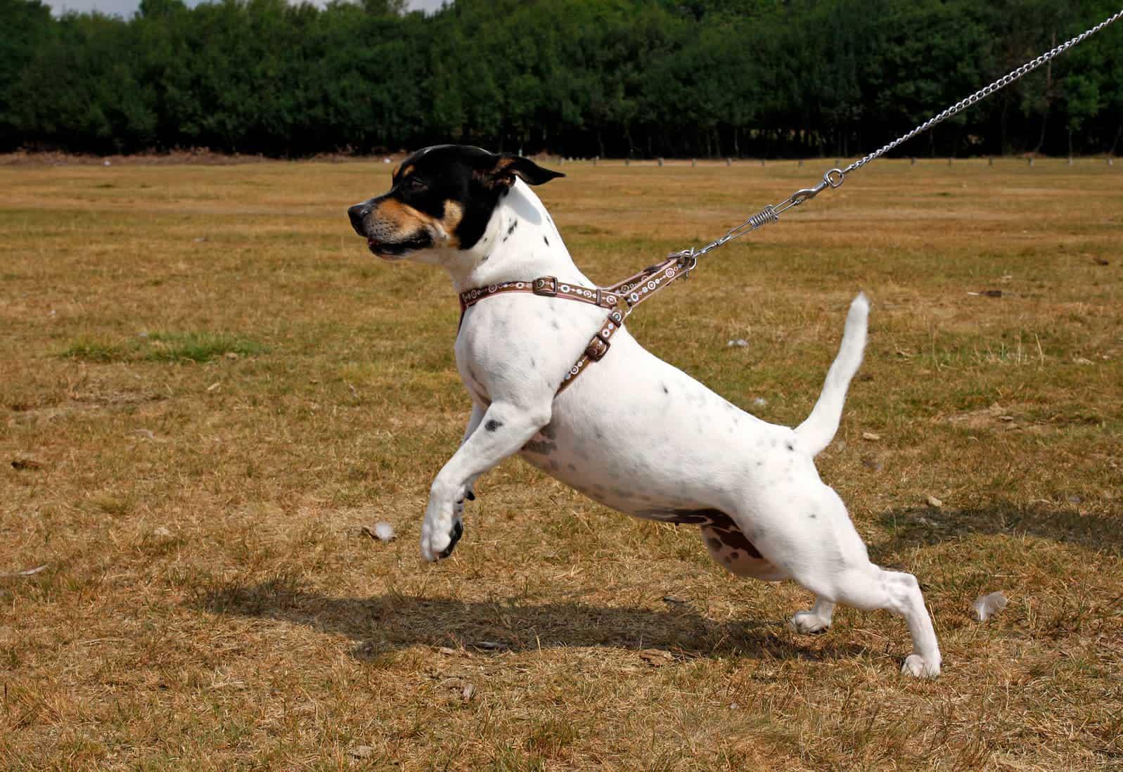 Hund zieht an Hundegeschirr