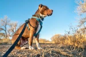 Hund mit Hundegeschirr richtig angelegt