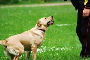 Hund beim longieren