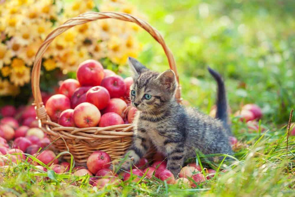 junge Katze mit einem Korb Äpfel