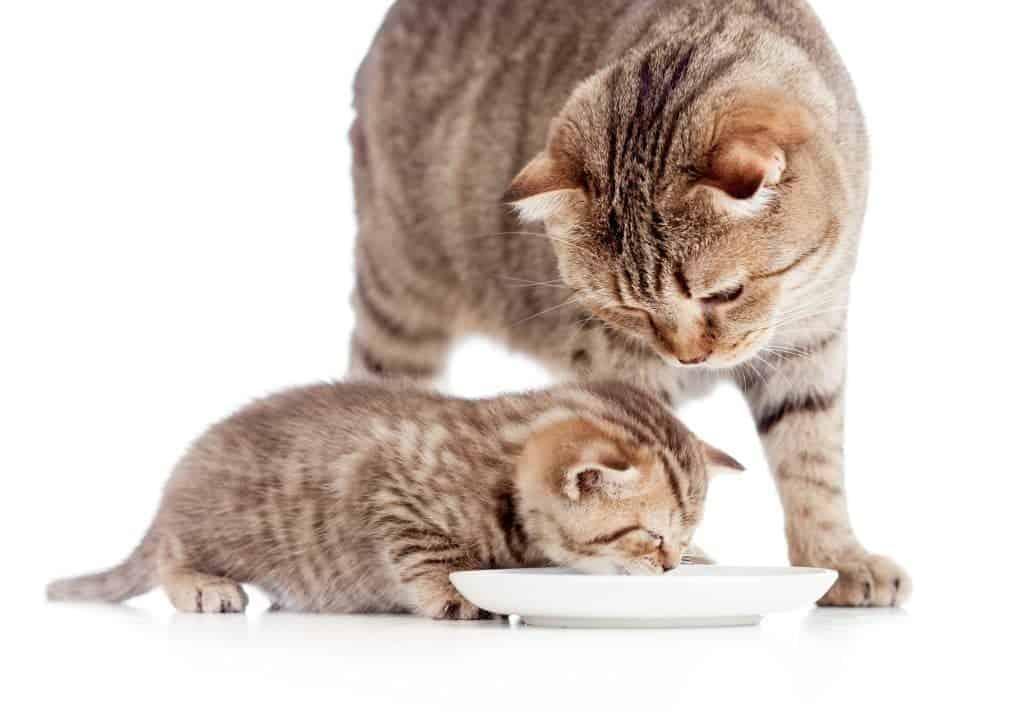 Lachsöl für tragende Katzen