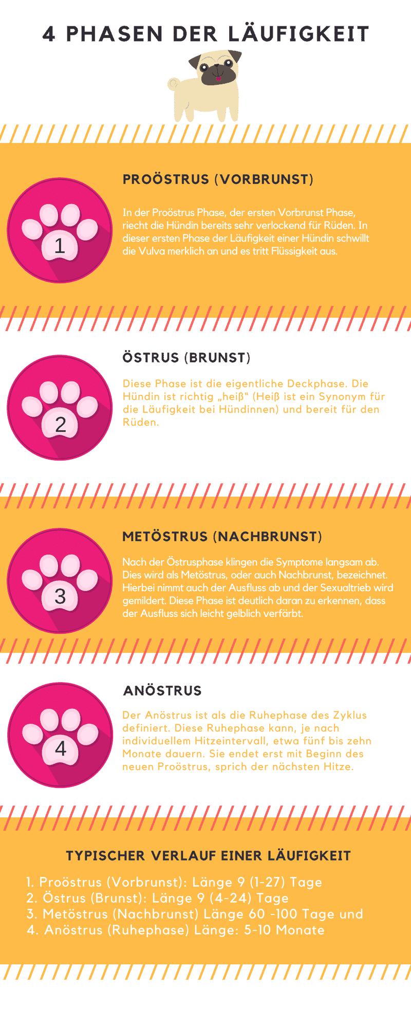 Infografik zu den 4 Phasen der Läufigkeit