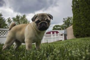 Hundebett für Mops